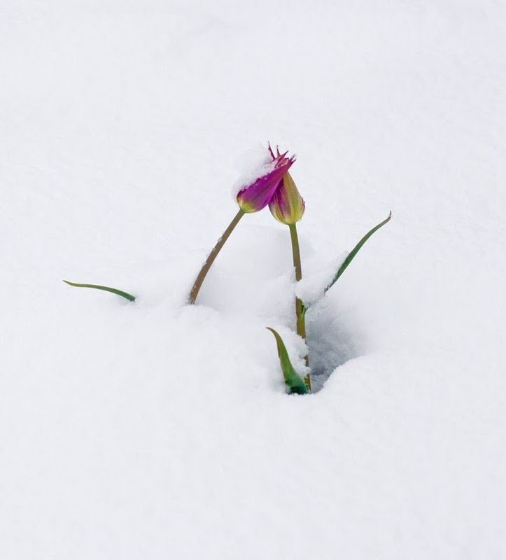 Thousands of Tulips Got Under Snow
