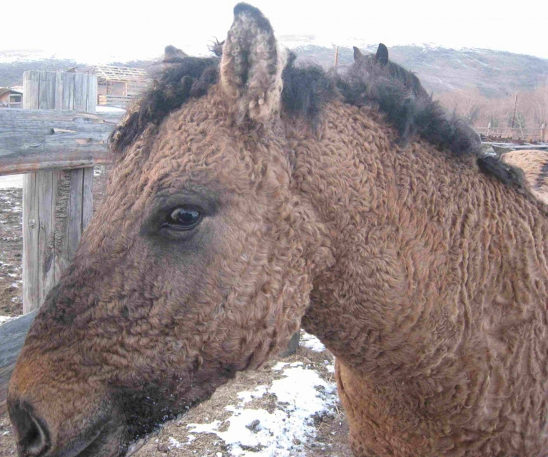 10 Facts About Russian Curly Hair Horse