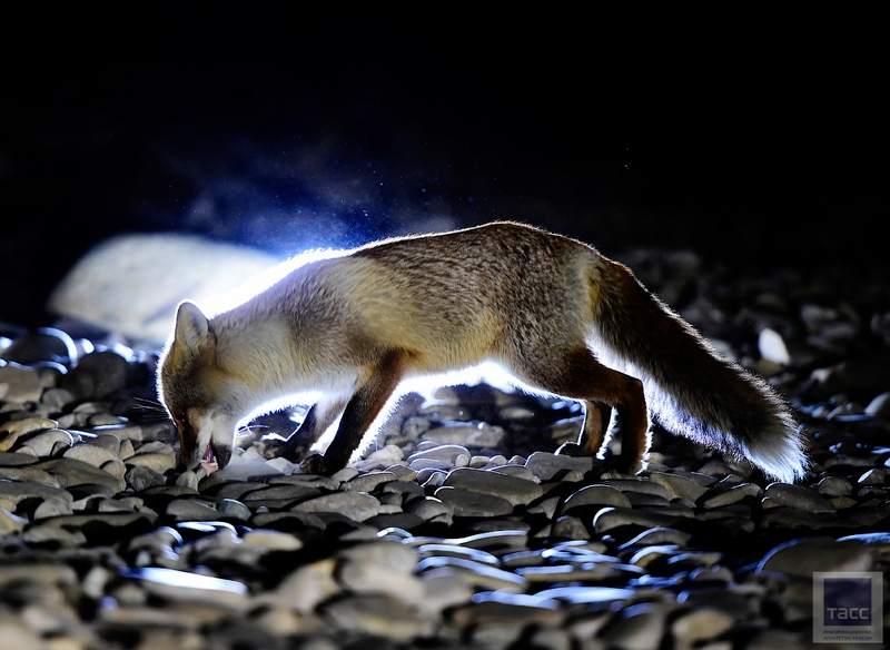 Foxes of the Russkiy Island Like to Make Photos and Don't Afraid of People