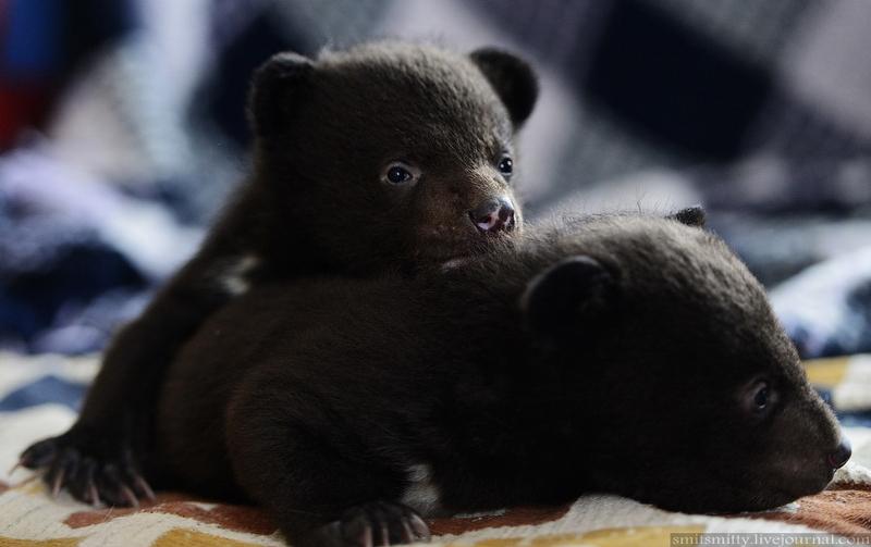 Himalayan Bear Cubs in Khabarovsk