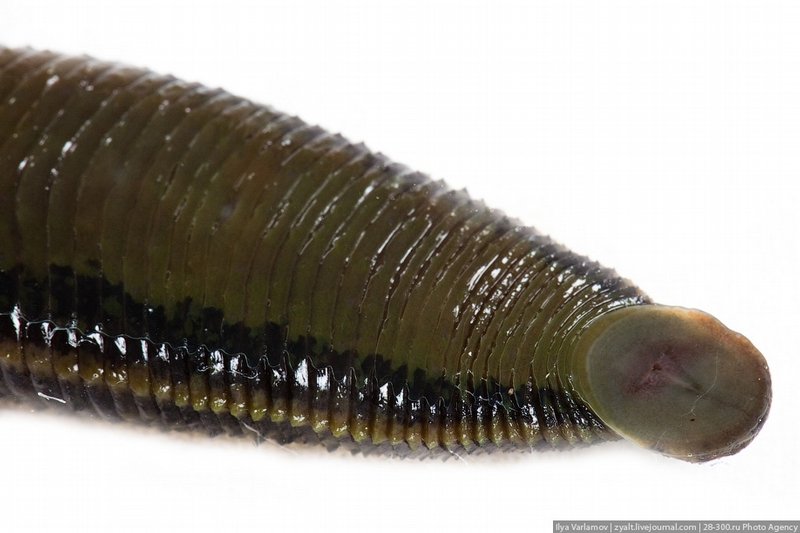 Leeches Growing Facility in Russia