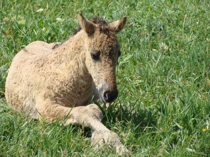 Russian Curly Hair Horses Zabaikalskie