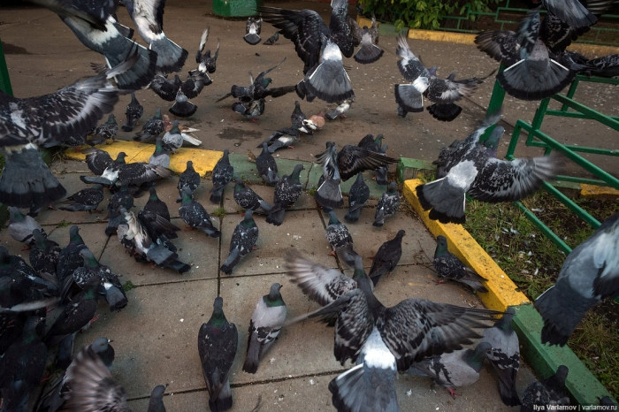 Russian Lady Attracts Hundreds of Pigeons into Her Apartment Home Yard