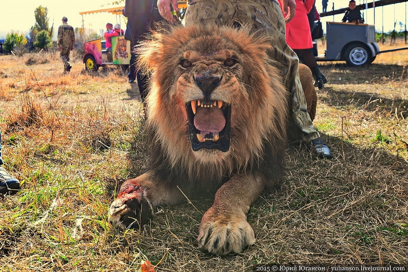 Taigan Lion Park in Crimea Releases Lions into the Wild