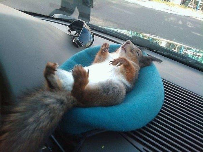 Taxi Driver Has a Squirrel as a Pet