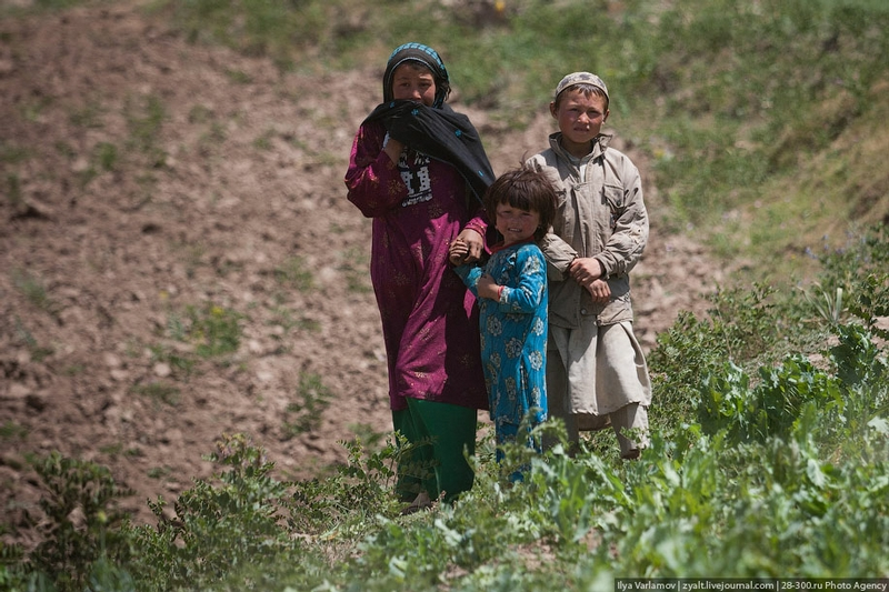 The Destruction of Poppy Fields in Afghanistan or Bees Against Honey