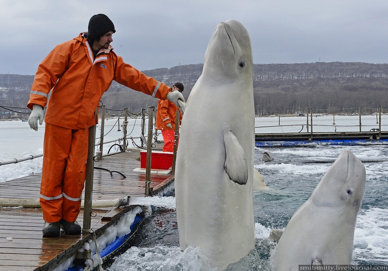 White Whales at Russian Sea Animals Scientific Station at Pacific Coast