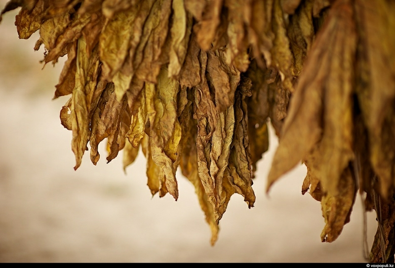 How Tobacco Is Grown