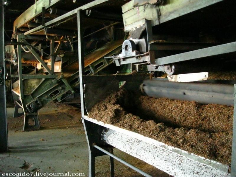 Tea Production In Abkhazia