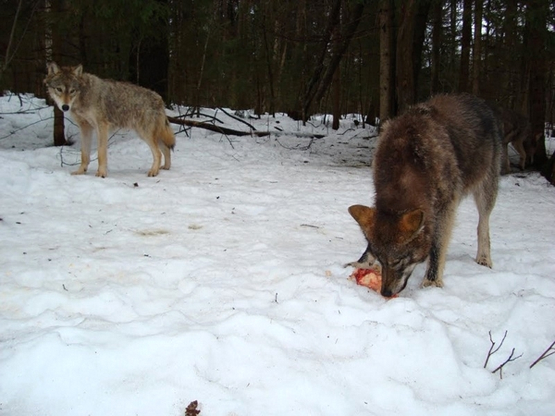 Human As A Part Of The Wolf Pack