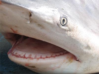 Shark in St. Petersburg 1