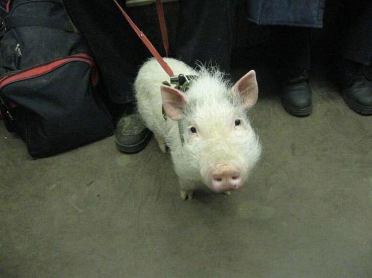 Russian pig pet 1