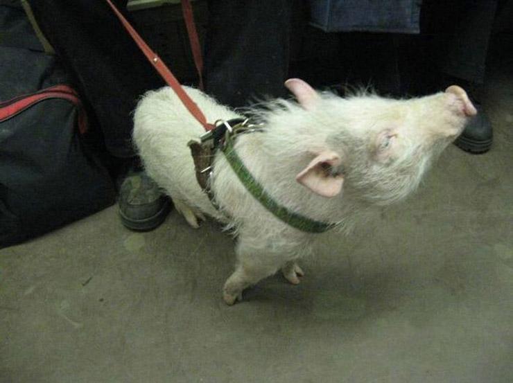 Russian pig pet 2