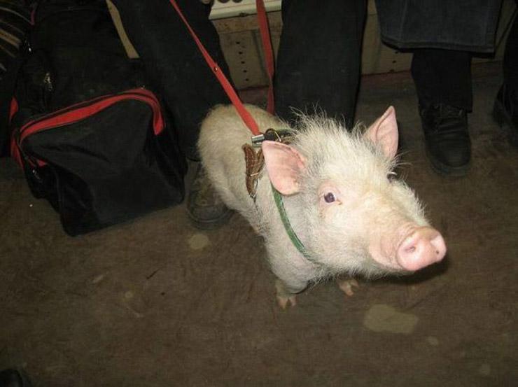 Russian pig pet 3