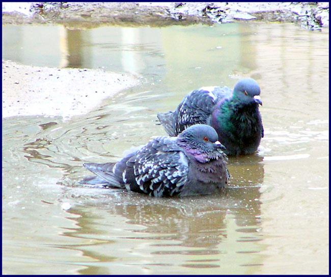 Russian pigeons 1