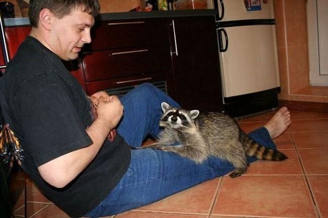 Russian racoon pet