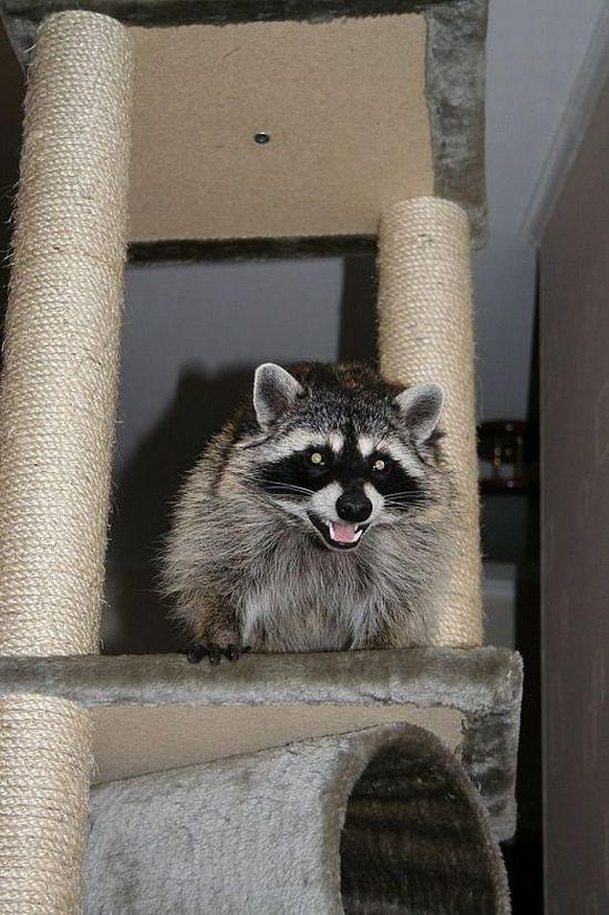 Russian racoon pet 3