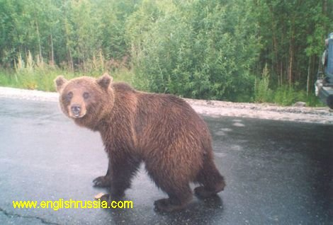 Russian bears stop cars and demand food (photo)