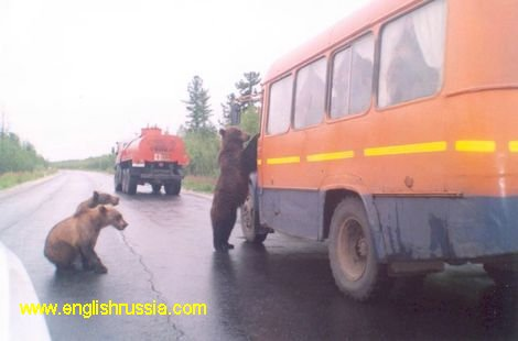 bears stop cars in Russia