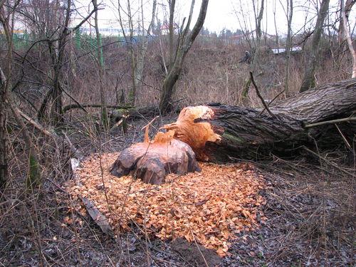 russian beavers