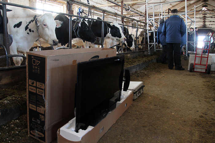 Russian cows watch tv 10