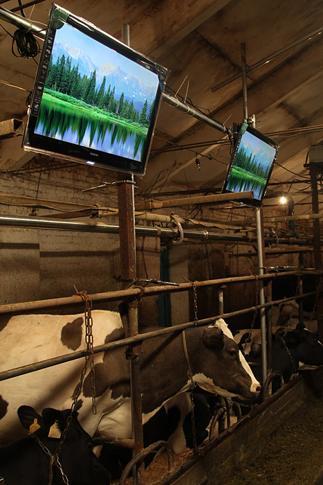 Russian cows watch tv 22