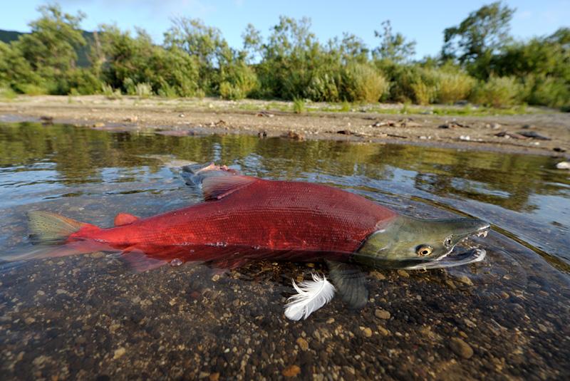 Salmon Spawning 3