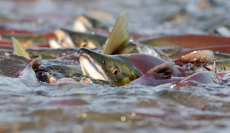 Salmon Spawning 4