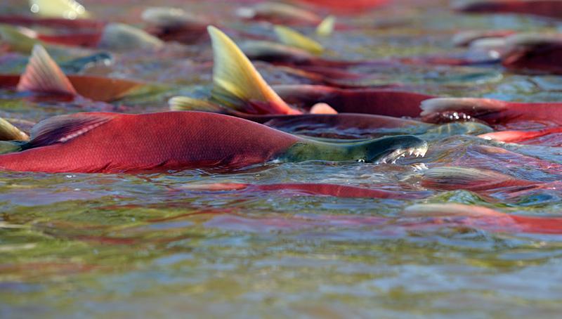 Salmon Spawning 5