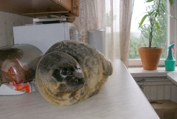 the seal as a pet in Russia 2