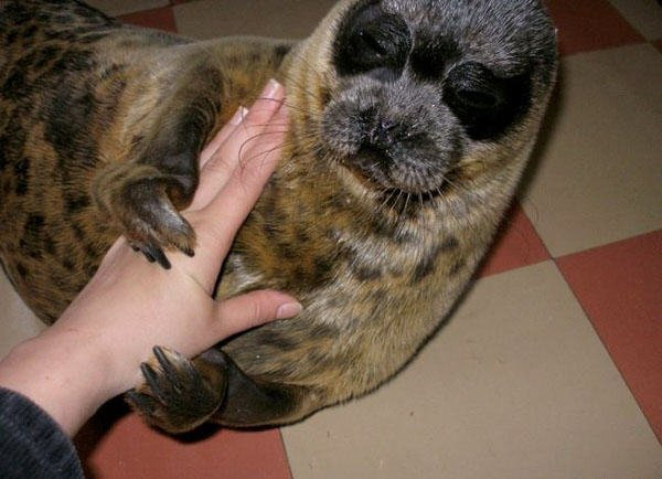 the seal as a pet in Russia 3