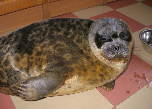 the seal as a pet in Russia 4
