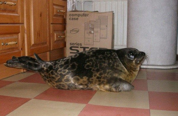 the seal as a pet in Russia 5