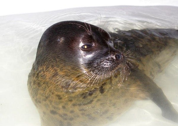 the seal as a pet in Russia 8