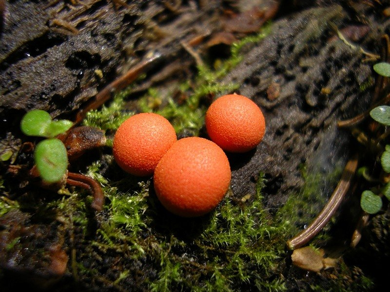 Macro photos of slime molds 14