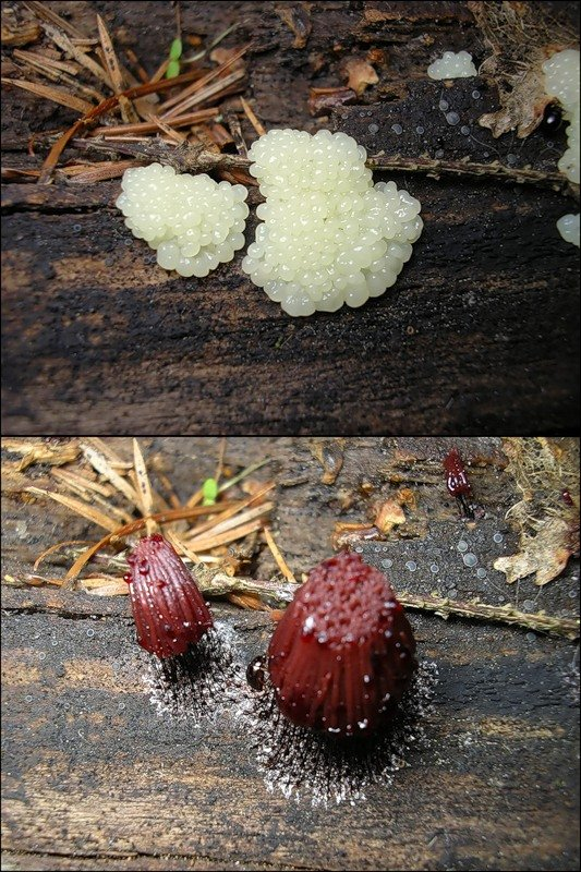 Macro photos of slime molds 17