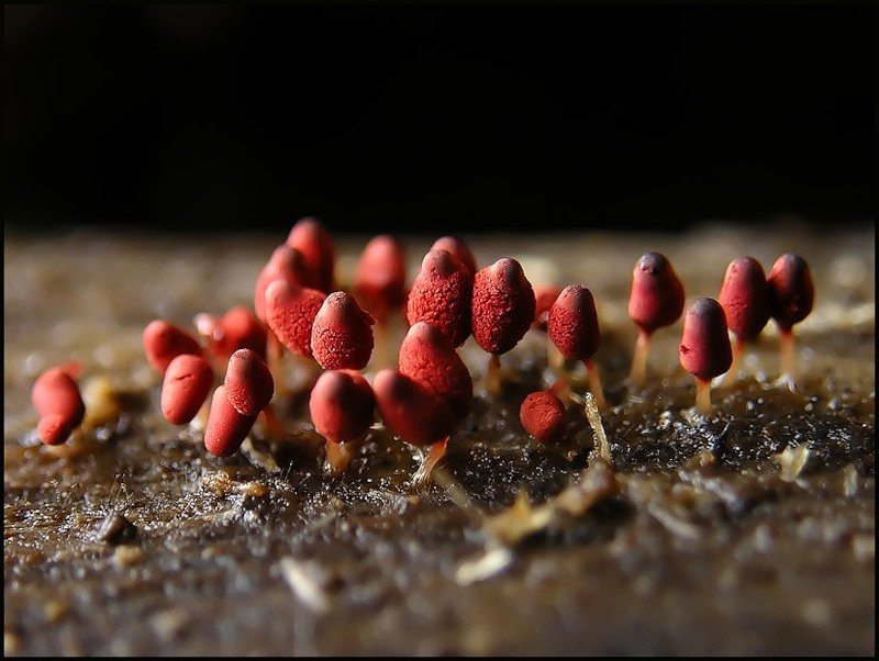 Macro photos of slime molds 20