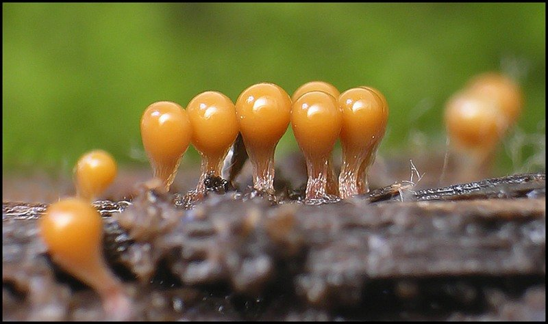 Macro photos of slime molds 24
