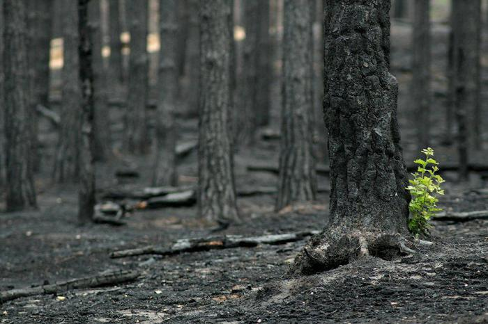 The Dead Forest After The Fire 2