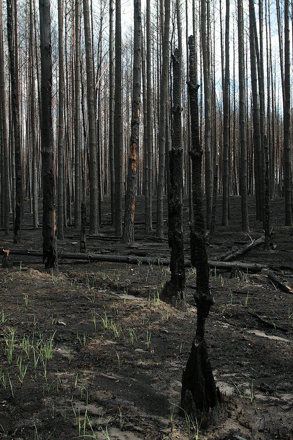 The Dead Forest After The Fire 3