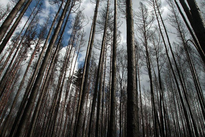 The Dead Forest After The Fire 4