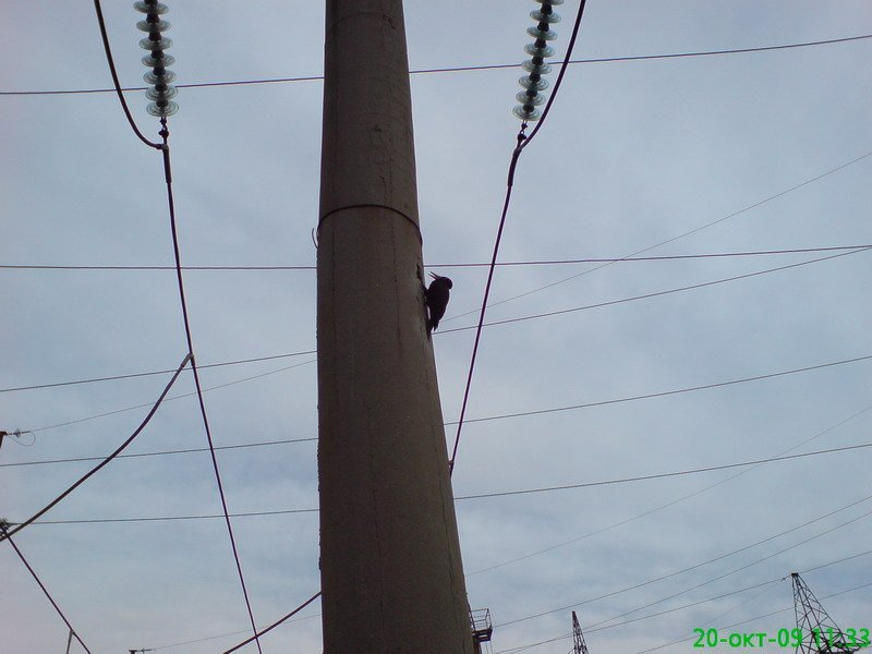 Russian woodpeckers 3