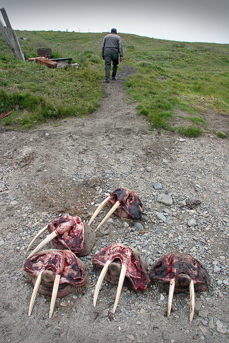 Russian walrus hunt on Chukotka 6