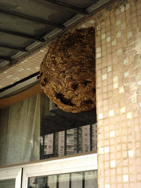 wasps in Russian house 4