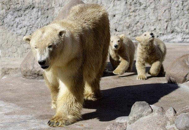 white bear in Russian zoo  1