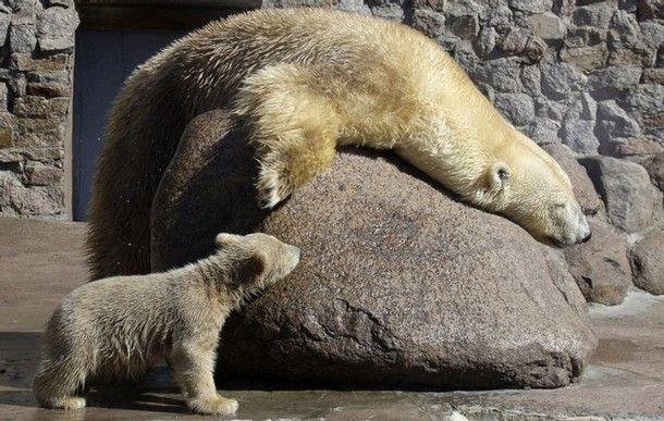 white bear in Russian zoo  2