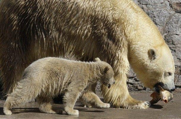 white bear in Russian zoo  6