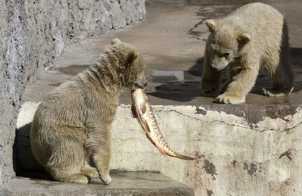 white bear in Russian zoo  7