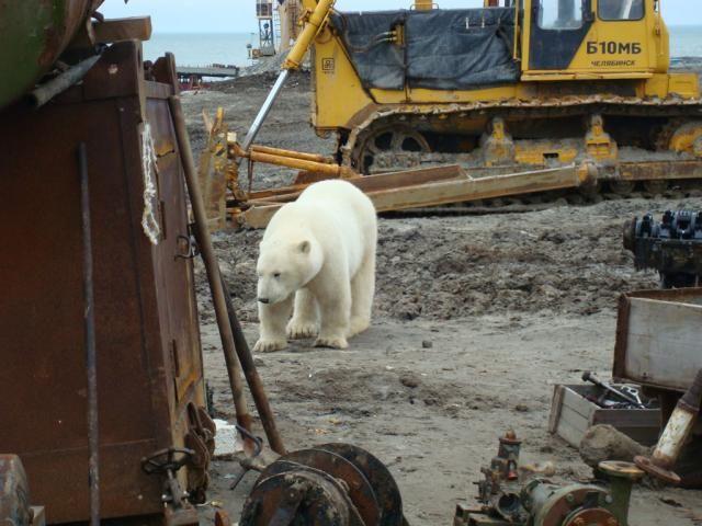 Russian bears walk on streets