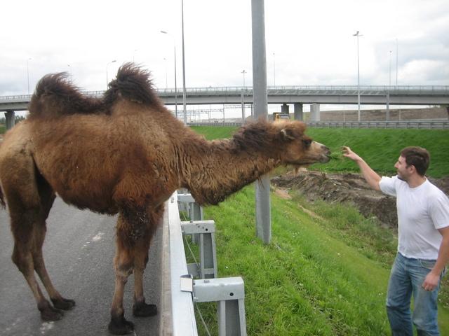 wild camel in St. Petersburg 2